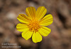 (3/9/2016, along CA-190 between Scotty's Castle Road and Beatty Junction, Death Valley trip)<br /> EF100mm f/2.8L Macro IS USM @ 100mm f/8 1/800s ISO200