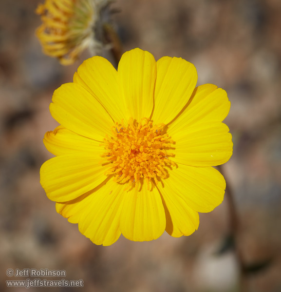 (3/9/2016, along CA-190 between Scotty's Castle Road and Beatty Junction, Death Valley trip)<br /> EF100mm f/2.8L Macro IS USM @ 100mm f/10 1/400s ISO200