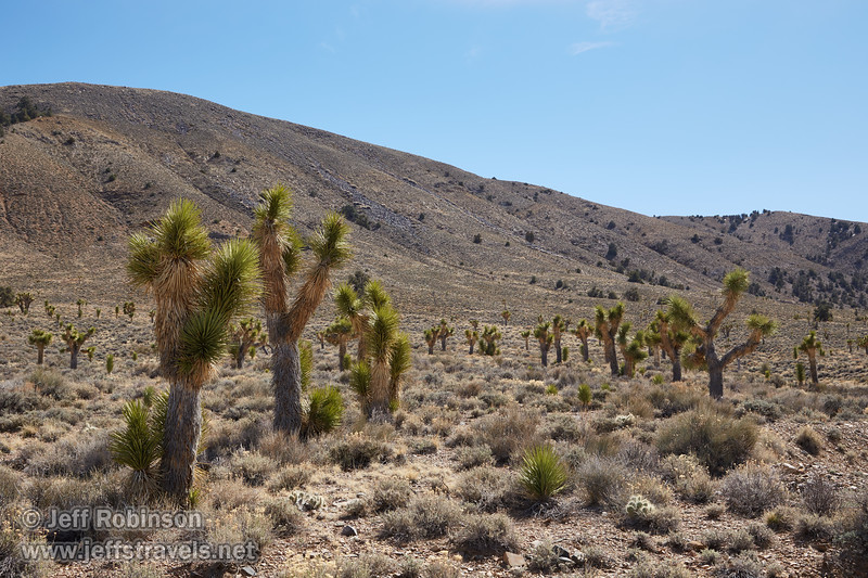 Joshua trees (3/10/2016, Death Valley Rd. going to Eureka Dunes, Death Valley trip)<br /> EF24-105mm f/4L IS USM @ 47mm f/10 1/200s ISO100