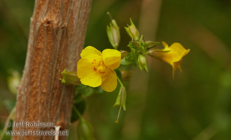 Yellow flower beside input pool for Panamint Springs water supply (3/11/2016, Darwin Falls hike, Death Valley trip)<br /> EF100mm f/2.8L Macro IS USM @ 100mm f/8 1/400s ISO2500
