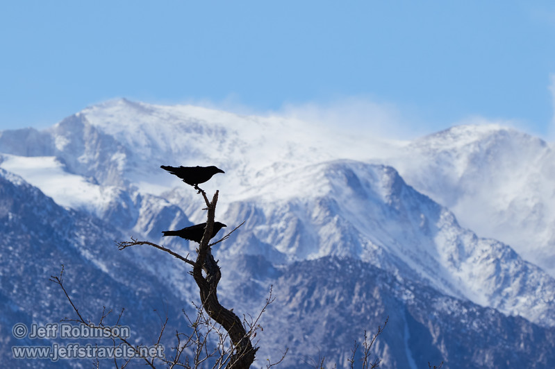 Ravens on a tree branch, with blowing snow on the Eastern Sierra behind them (3/6/2016, Chevron Station, Lone Pine, CA, Death Valley trip)<br /> TAMRON SP 150-600mm F/5-6.3 Di VC USD A011 @ 213mm f/8 1/1600s ISO400