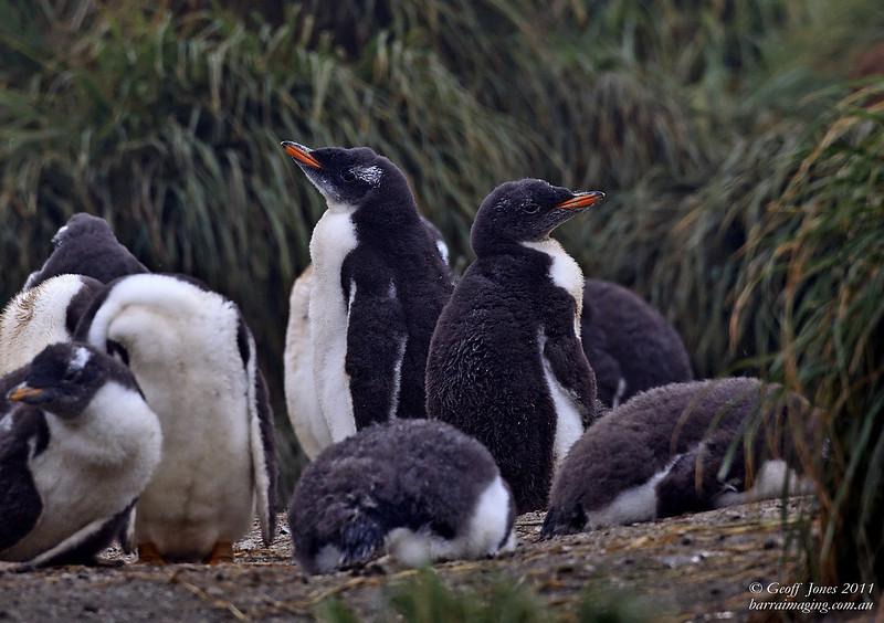 AU-GPE-07 Gentoo Penguin Imm ( Pygoscelis papua ) Macquarie Island Dec 2011