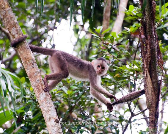 White-fronted Capuchin Monkey