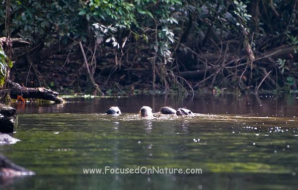 Giant River Otter Family