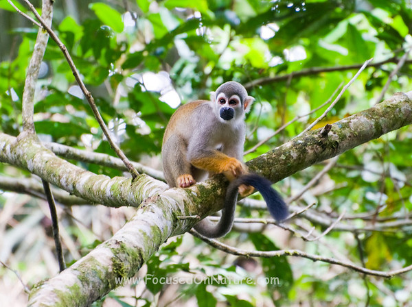 Common Squirrel Monkey Grooming