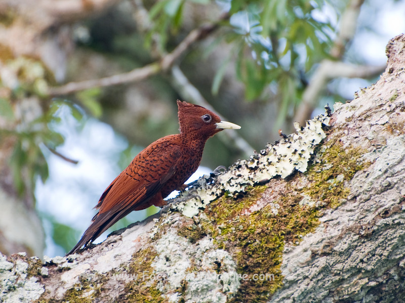 Scale-breasted Woodpecker,