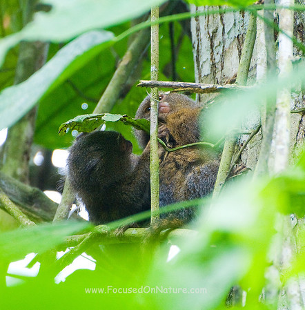 Pygmy Marmoset Pair Grooming