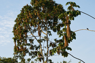 Yellow-rumped Cacique Nesting Tree