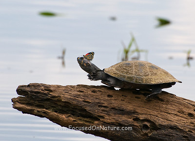Yellow-headed Amazon River Turtle