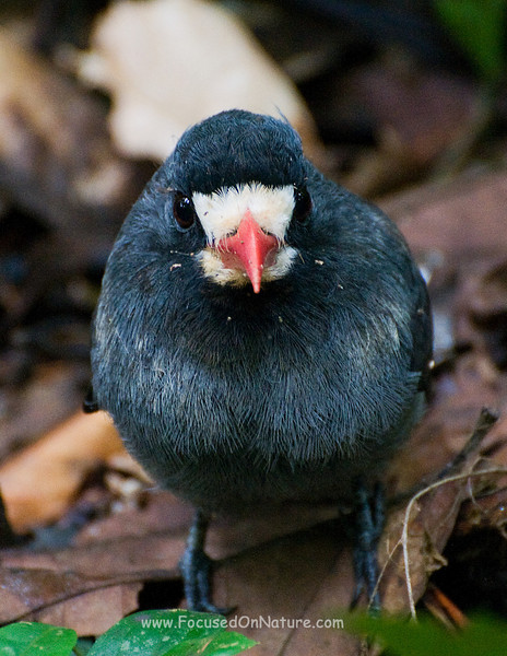 White-fronted Nunbird