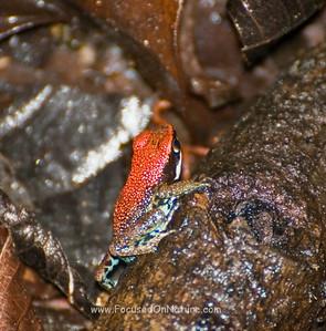 Ruby Poison Dart Frog