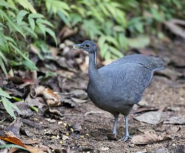 Gray Tinamou