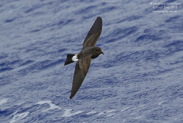 White-bellied Storm Petrel