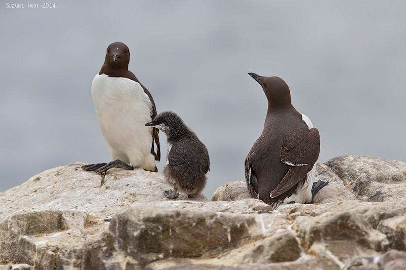 Guillemots with chick.