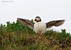 Puffin  above one of the many nesting burrows to be found on the Farne Islands