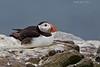 Atlantic Puffin at rest.  Farne Islands U.K.