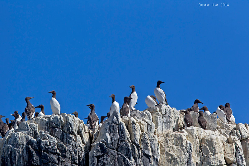 Guillemots on the  Farne Islands.