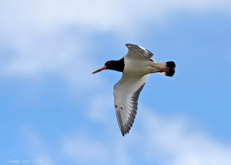 Oystercatcher in flight.