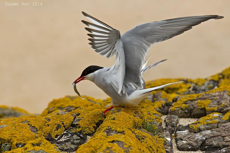 Arctic Tern with fish.