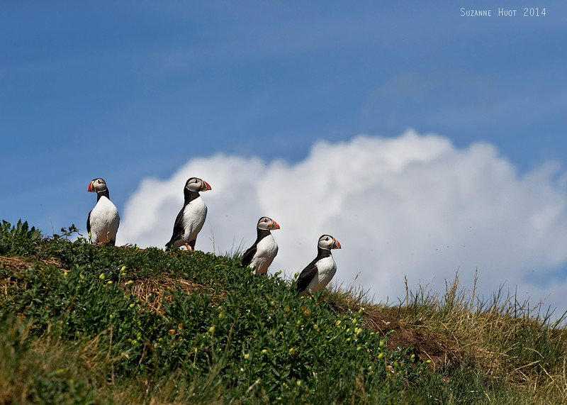 Puffins waiting to fly out to sea to catch fish for the chicks below ground in their burrows.