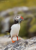 Atlantic Puffin with large catch .