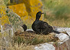 Shag sitting on nest with young .
