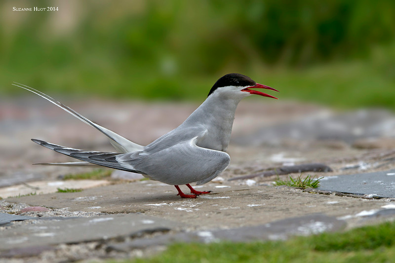 Arctic Tern displaying.
