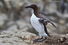 Guillemot.  Farne Islands  U.K.