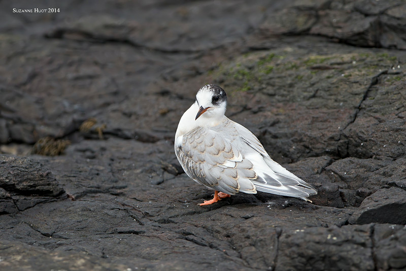 Arctic Tern juvenile.