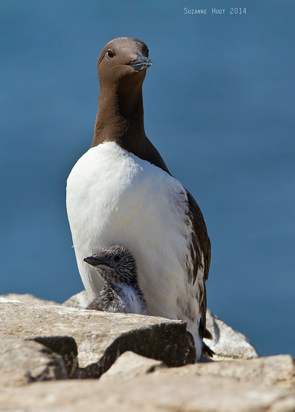 Guillemot with chick.