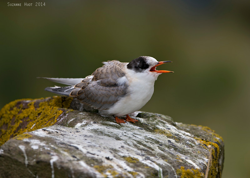 Immature Arctic Tern waiting to be fed.