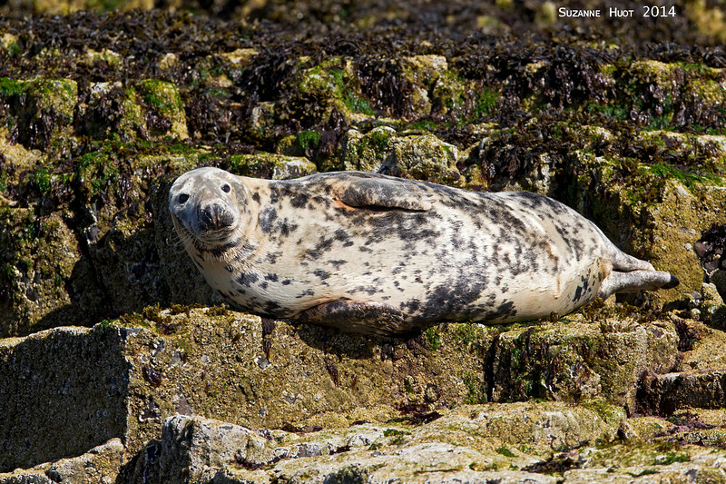 One of the many Grey Seals to be found around the North East coast of England and Scotland.