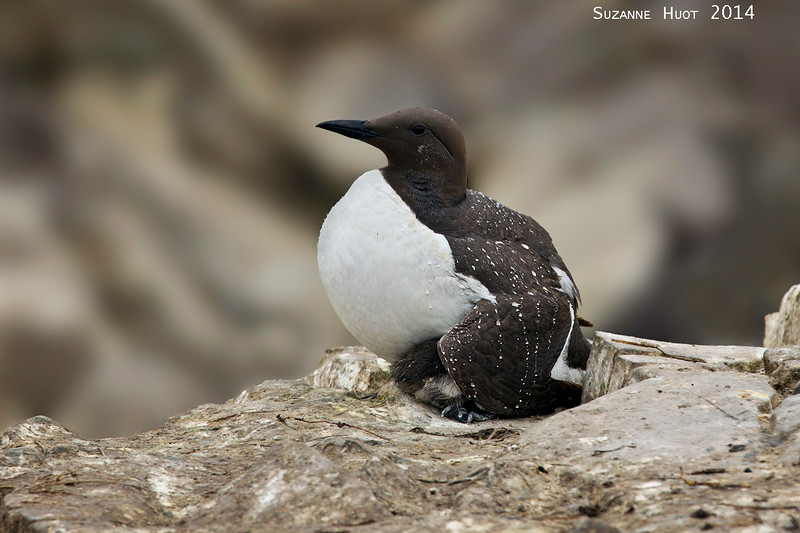 Guillemot protecting chick under her wing from rain and wind.