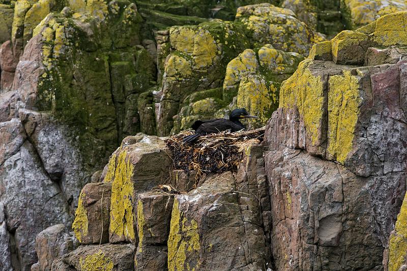 Shag on nest .Farne Islands  U.K.