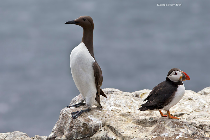 Guillemot and Atlantic Puffin  sharing a rocky perch.