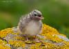 Arctic Tern chick.