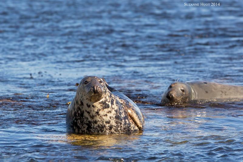Grey Seals ,found around  the rocky coast of North Eastern England.