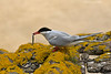 Arctic Tern with catch.