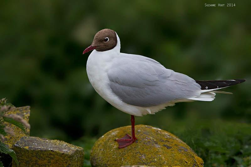 Black-headed Gull .