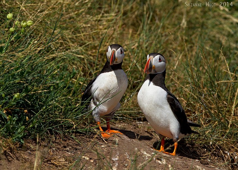 Pair of Puffins.
