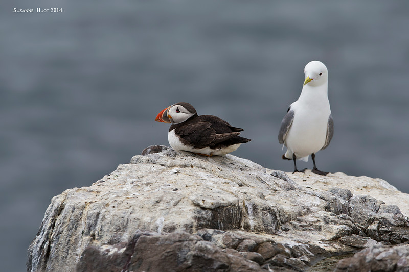 Puffin and Gull .