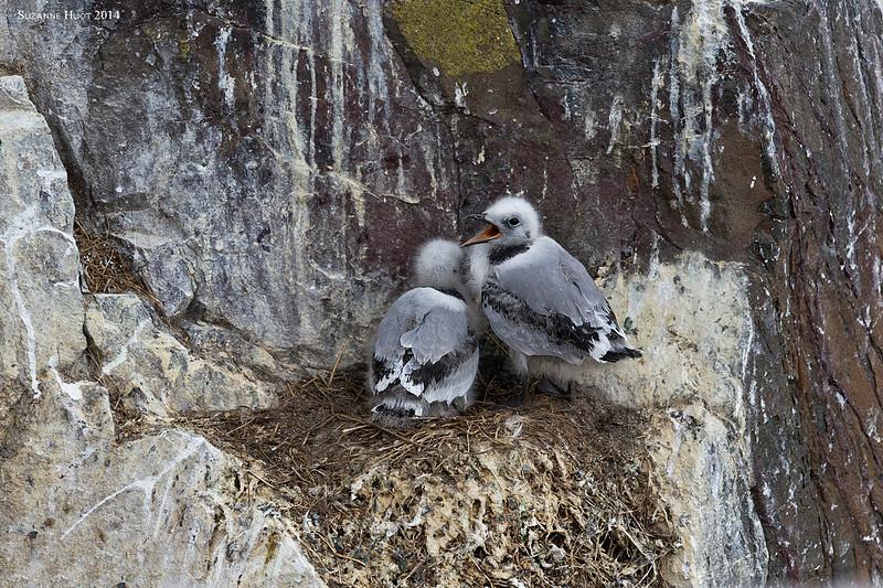 Herring Gull chicks .