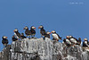 Colony of Puffins .