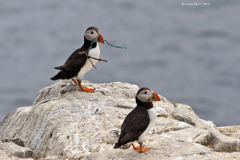 Puffin gathering nesting materials.