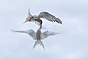 Aerial combat between two Arctic Terns.