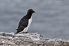 Razorbill. Farne Islands  U.K.