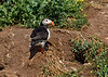 Atlantic Puffin in front of it's nesting burrow.