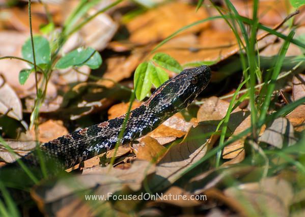Pygmy Rattlesnake Closeup