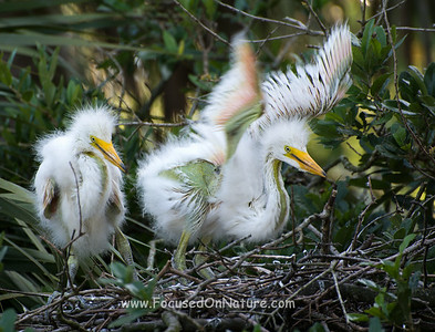 Great Egret Chick Stretching