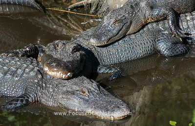 American Alligator Slumber Party